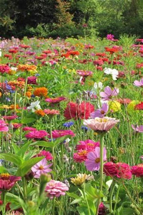 Cottage Gardener Seeds by 25 Best Ideas About Zinnias On Zinnia Garden