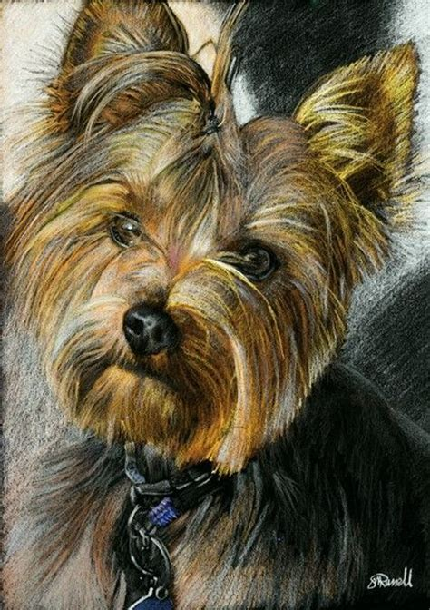 when do yorkie puppies calm 17 best images about dessin yorkie on puppies yorkies and mixed