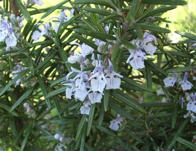fiori rosmarino file rosmarino fiori jpg
