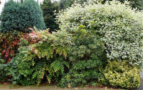 evergreen mixed shrub border gardening pinterest