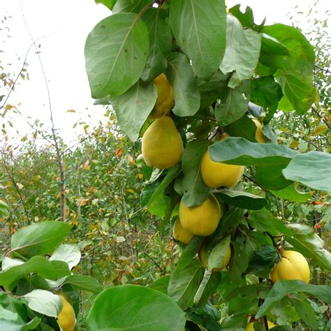 fruit trees buy quince vranja buy quince tree purchase quince fruit trees