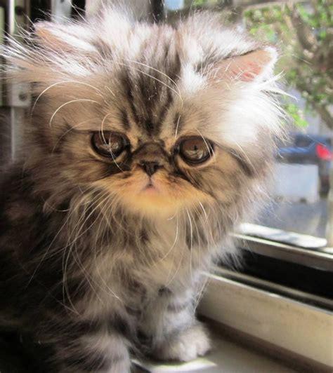 gatti persiani neri messaggio di benvenuto stravaganza s cattery
