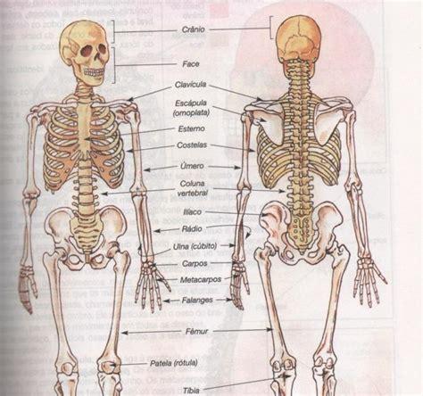 pelvis esqueleto humano frente cibertareas corpo humano online ossos