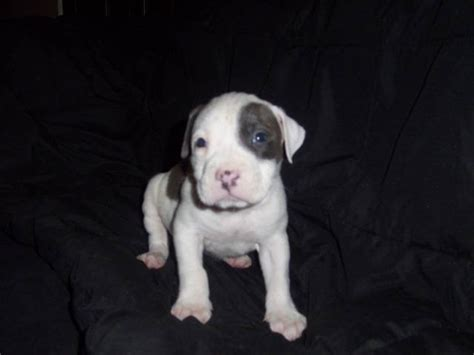 blue nose pitbull puppies for free american bulldog terrier mix picture image by tag wallpaper breeds picture