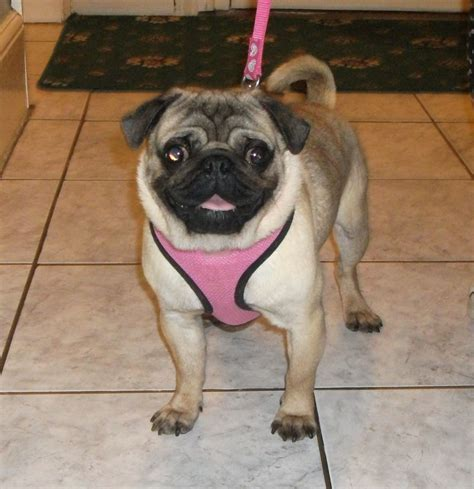 prices for pugs price reduced proven pug stud for sale manchester greater manchester pets4homes