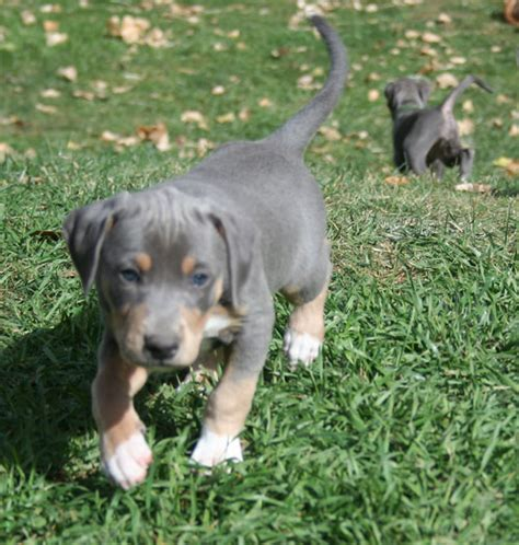 blue lacy puppies for sale in blue lacy puppies for sale in breeds picture