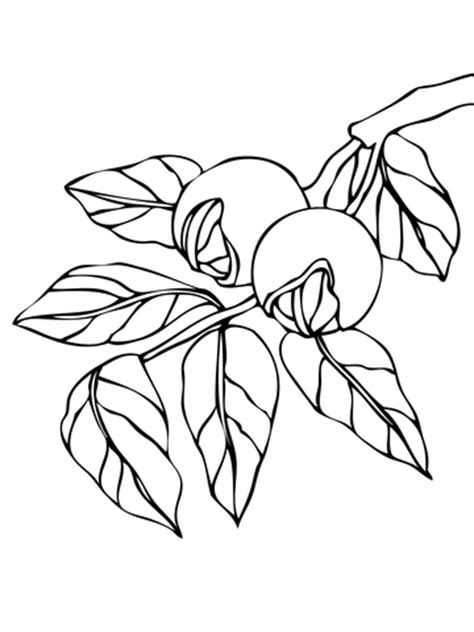 walnut tree coloring page walnut branchlet coloring page super coloring