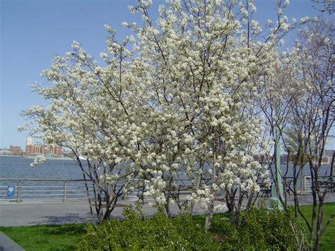 Flowering Currant Shrub - juneberry amelanchier canadensis the hudson river park companion