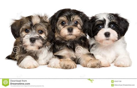havanese puppies idaho three havanese puppies are lying next to each other stock photo image 63421158