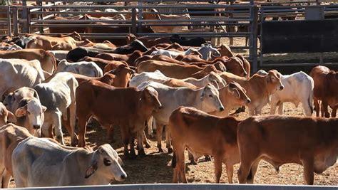 Garage Sale Cow by Brahman Beef Cattle Cow Livestock In Sale Yard Pens