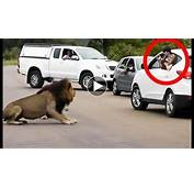 Tiger And Lion Attack White Car In Safari  YouTube