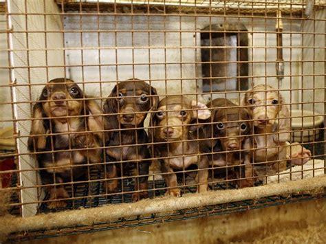 puppy mills in nj nj assembly passes bill banning cruel and inhumane puppy mills marlboro nj patch
