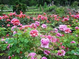 Garden Roses by Garden 3 D S Random Thoughts Feelings