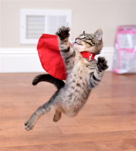 Supercat Kitten 800gr adorable cats who are excited about trees cat cat and animal