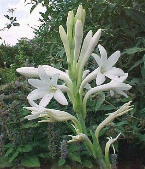 imagenes de flores nardos jardiner 237 a 187 nardo
