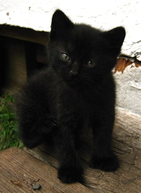 black images 46 black burmese cat pictures and photos