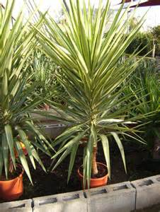 yucca yewel plant spanish property sales