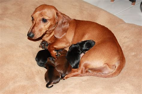 mini doxie puppies miniature dachshund puppies visit my popular website flickr