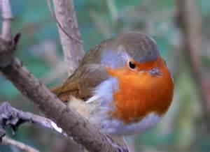 robin birds flight all about birds for kids
