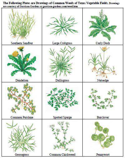 common weeds httpaggie horticulturetamuedu