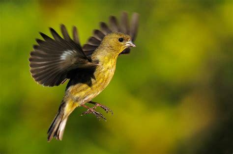 american gold finch bird