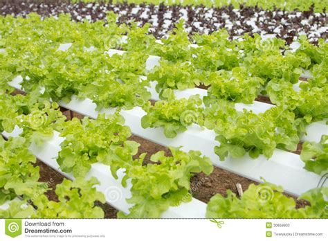sle business plan vegetable farm hydroponic vegetable farm stock photos image 30659903