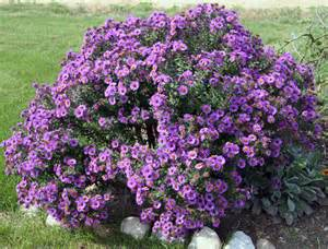 Asters search results heartlandgardening