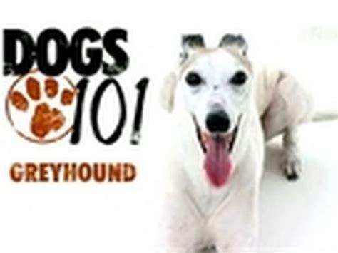 dogs 101 husky husky dogs 101 images