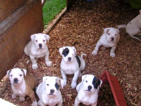 black and white bulldog puppy american bulldog puppies black and white photo happy heaven
