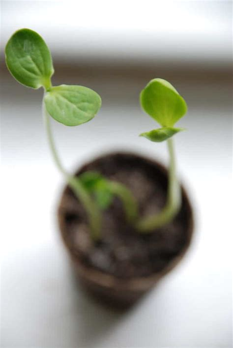 long leggy seedlings gardening channel