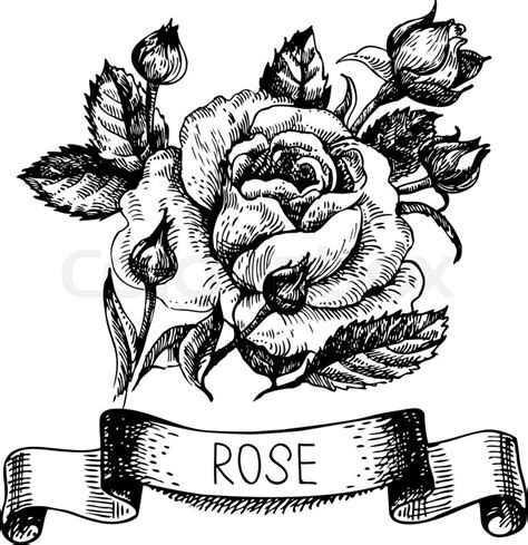 sketch floral rose banner with ribbon hand drawn