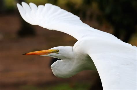 egret color great egret in flight in fall colors egret flight 2 jpg