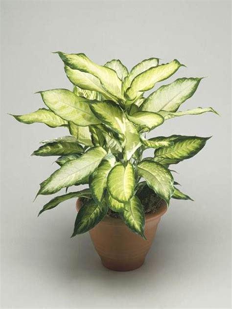 low light flowering plants best 25 indoor flowering plants ideas on pinterest low