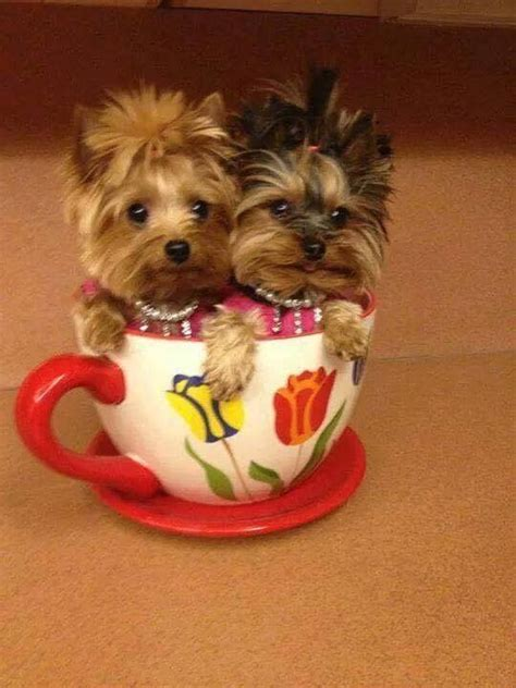 yorkie ear hair removal 25 best ideas about yorkie hairstyles on terrier puppies