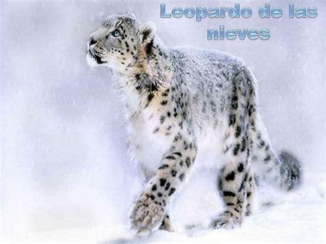 imagenes de onzas reales leopardo de las nieves