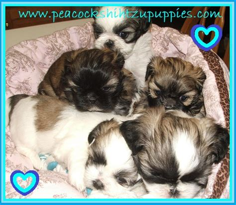 family shih tzu home our nursery testimonials potty and chewing choosing the right vet bio