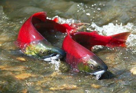 salmon navigate home using earth s magnetic fields