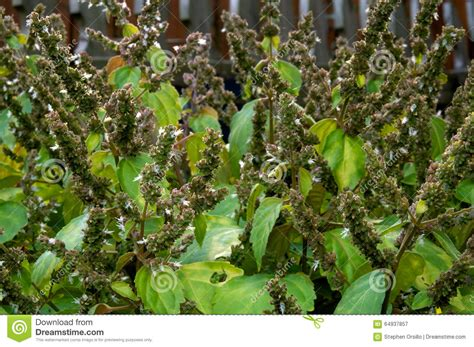 patchouli plant flowers stock image image of leaves