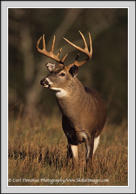 small 10 point buck whitetail deer stock photo 10 point whitetail buck photo