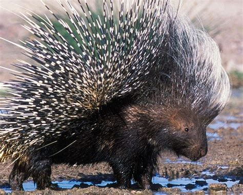 Reflections On The Of A Porcupine And Other Essays by Up The Porcupine Christian Meditation