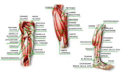 tendine interno coscia ricerche correlate a anatomia ginocchio muscoli car