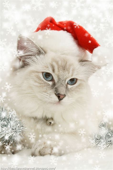 images of christmas cats cute and funny pictures of animals 48 christmas 5