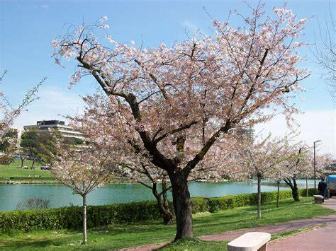 alberi in fiore primavera a roma i ciliegi dell eur rome accommodation