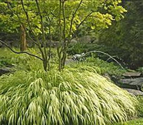 grass roots the rise and fall and rise of marijuana in america books ostrich fern bought 9 of these today at a garden club