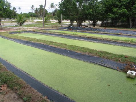 tilapia backyard farming 100 tilapia backyard farming backyard aquaculture