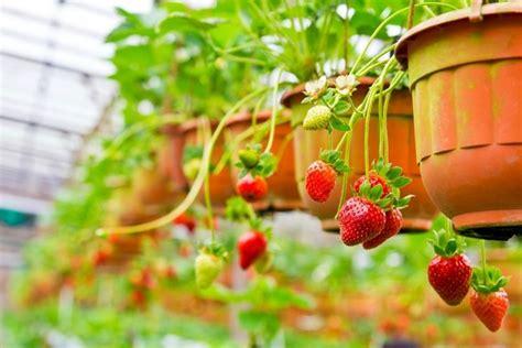 piantare le fragole in vaso orto sul balcone cosa piantare orto in balcone cosa