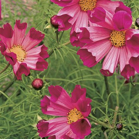 Bibit Pink Snapdragon Paling Diminati 17 best images about cosmos on sun flower and search