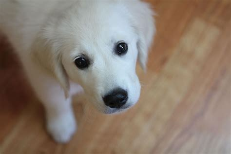 golden retriever puppies white sweetest white golden retriever puppy