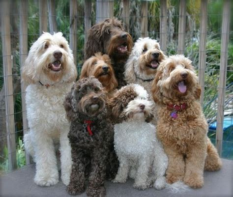 doodle rescue florida labradoodles want all of these animales