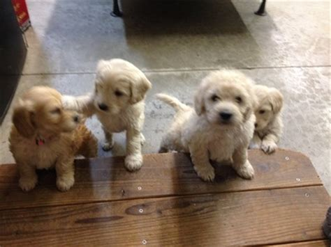 mini goldendoodles washington state golden acres miniature and standard goldendoodle puppies